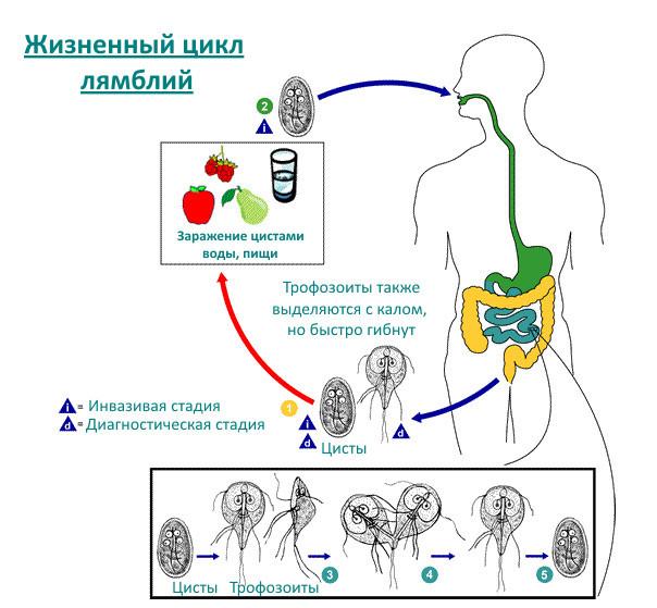 Лямблиоз у детей: симптомы, лечение, профилактика